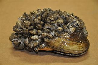 Zebra Mussels: photo by Kevin Watson