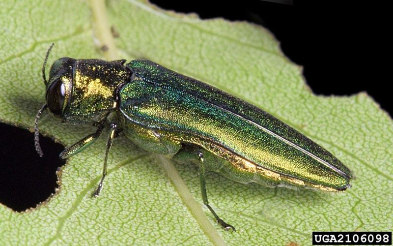 EAB Close Up (picture from MN DNR)
